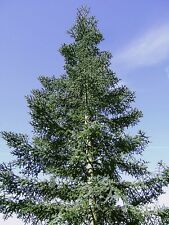 BARGAIN-WELSH BLUE NOBLE  FIR, ABIES NOBILIS (PROCERA) XMAS TREES! 200 SEEDS