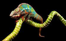 Framed Print - Multi-Coloured Chameleon (Picture Poster Lizard Animal Gecko Art)