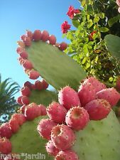 20 Graines Cactus Fruit Rose Figuier de Barbarie (Opuntia ficus-indica) Seeds