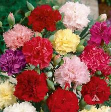 1000 Carnation Seeds - Chabaud Mix - Pink, purple,Red, white and Yellow.