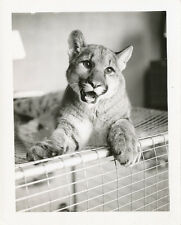 Real Tiger Cub on Cage  at Home * Real Photo 1950s UNUSUAL Pet *RARE   6