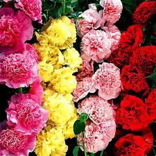 900 Graines de Rose Trémière à Fleurs Doubles CHATER Mélange / ALCEA Rosea