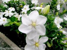 Gardenia Thunbergia 10 Seeds, Fragrant Wild Gardenia, Shrub Plants or Small Tree
