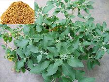 Rare Ashwagandha Withania Somnifera or Indian Ginseng 25 Seeds for Growing