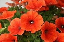 Petunia Seeds Candypops Orange 50 Pelleted Petunia Seeds Candy Pops Orange