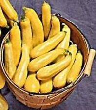 Squash Summer Non-GMO Heirloom STRAIGHTNECK EARLY PROLIFIC 50 SEEDS AAS Winner