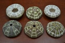 "6 PCS BULK ALFONSO SEA URCHINS SHELL BEACH WEDDING NAUTICAL 2 1/2"" - 3"" #7886"