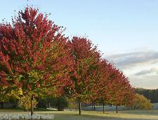 4x Acer freemanii Celebration / stunning American Maple tree grown peat free 4ft