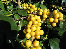 15 ARABICA COFFEE Tree Shrub Seeds - Grow your own coffee! *Comb S/H & Free Gift