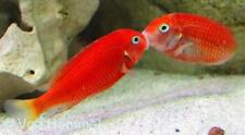 (1) Tropheus Red Bishop (RARE) 2 Inch live fish African cichlid