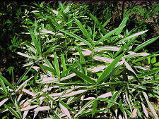 "1 DWARF WHITE STRIPE BAMBOO 12"" long rhizome"