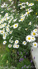 OX-EYE DAISY PLANTS LEUCANTHEMUM VULGARE PERENNIAL COUNTRY COTTAGE GARDEN BEE