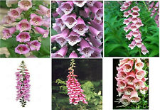 TWO TONED BEAUTIFUL PINK AND WHITE FOXGLOVE FLOWER 100 + SEEDS 4 U TO PLANT