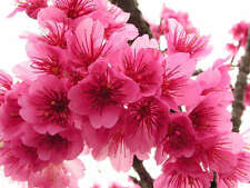 15 seeds of Japanese Cherry Blossom tree pink flowers Prunus Serrulata fragrant