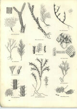 1854 Engravings Moss Corals