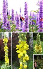 Schmetterlingsblumen-Samen-Sortiment: Riesen-Königskerze + Schmetterlingslakritz