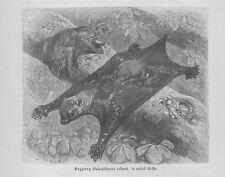 Riesengleiter Kaguang Gleitflieger Cynocephalus volans Holzstich von 1891
