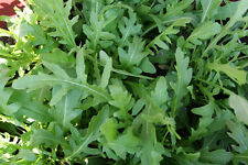 Arugula Selvatica Seeds - Garden Rocket Herb - HEALTH BENEFITS  - 50 Seeds