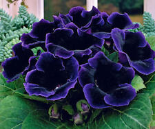 Unique Rare and Beautiful Gloxinia Hollywood Bulb ! Lowest price !