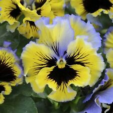 20 pansy seeds FRIZZLE SIZZLE RASPBERRY jazzy, ruffled lavender-blue and yellow