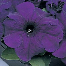 petunia seeds 50 pelleted supercascade blue seeds trailing petunia seeds