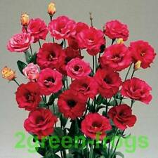 Arena Red Lisianthus   Bold Shades of Scarlet & Red 20 pelleted seeds Au seller