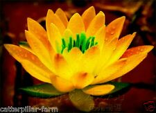 Rare Sacred Orange Lotus(Nelumbo Nucifera) Flower 10 seeds, High Germination