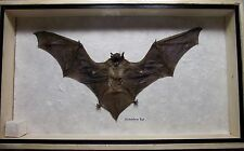 REAL EXOTIC HUGH HAIRLESS  BIG BAT TAXIDERMY FLYING IN WOOD FRAMED