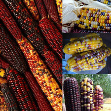 New Delicious Sweet Colorful 40pcs Glass Gem Corn Seeds Non Gmo Organic