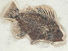 A 50 Million Year Old Priscacara Fish Fossil in BIG Matrix From Wyoming 3577gr e