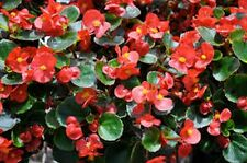 Begonia (Begonia Semperflorens) -Wax Red- 50 Seeds