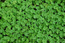 """500+ BULK HEIRLOOM GROUNDCOVER SEEDS - DICHONDRA """"KIDNEY WEED"""" FORMS THICK MAT!"""