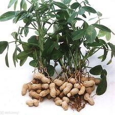 Peanut 40 Seeds,  OVS-9009, - Organic Untreated Seeds