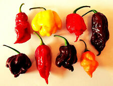Chilisamen-Mix Bhut-Jolokia / Trinidad Scorpion / 7 Pot 100 Samen - SUPER SCHARF
