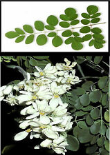 5 Moringa Oleifera Tree Of Life Healthy Food Tree Seeds