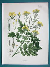 WHITE MUSTARD Medicinal Plant Sinapis Alba - Beautiful COLOR Botanical Print