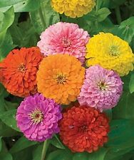 Zinnia CALIFORNIA GIANT MIX  200 SEEDS Zinnia elegans Large Tall Cut Flowers