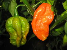 BHUT JOLOKIA INDIAN CARBON pure seeds