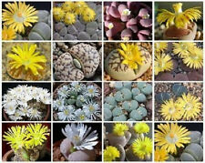 * Lithops Variety MIX flowering rock succulent cacti living stone seed 100 SEEDS