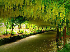 Cassia Fistula Almatas Golden Shower Tree 25 Seeds