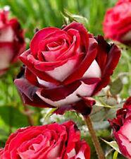 Fresh,40pcs RARE Ruby Rose Flower Seeds Garden Plant*UK STOCK*