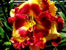 Daylily Seeds (Can't Touch This x Merlot) (7) Seeds