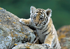 SIBERIAN TIGER CUB - 3D Lenticular Postcard Greeting Card Wildlife