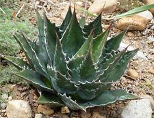 500 Seeds Wholesale - Hardy Century Plant - Agave montana