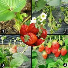 100x Red Strawberry Climbing Strawberry Fruit Plant Seeds Home Garden Sale