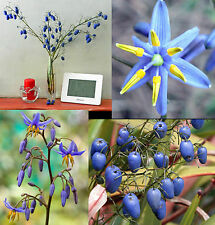 Dianella caerulea, Blue Flax Blueberry Paroo Lily, exotic groundcover, 10 Seeds