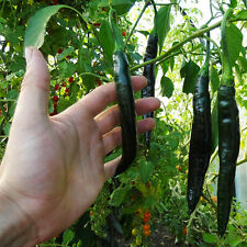 Chilli Seeds - Pasilla Bajio Mexican Chilli Pepper Seeds x 10