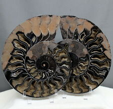 "6.8"" Rare Split Pair Black Ammonite Calcite Chambers Shell Fossil, Amm185"