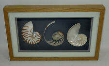 Framed Chambered Nautilus Shells Lewis Originals Marvin Exotic Seashells