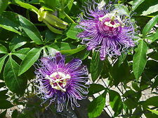 MAYPOP PURPLE PASSION FLOWER LIVE PLANT VINE (INCARNATA X CINCINNATA) INCENSE